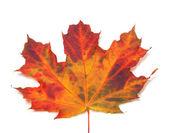 Autumn maple-leaf. Close-up view — Stock Photo