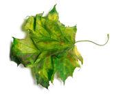 Yellowed maple-leaf on white background — Stock Photo