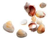 Seashells isolated on white background — Stock Photo