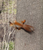 Red squirrels on tree trunk — Stock Photo