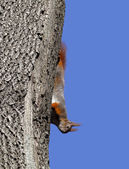 Red squirrel play on tree — Stock Photo