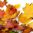 Autumn dry maple-leafs — Stock Photo #51125299
