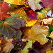 Autumn dry maple-leafs — Stock Photo #51125301