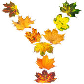 Letter Y composed of autumn maple leafs — Stock Photo