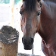 Close-up of brown horse — Foto de stock #12724029