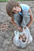Child gathering potatoes in the field — Stok fotoğraf
