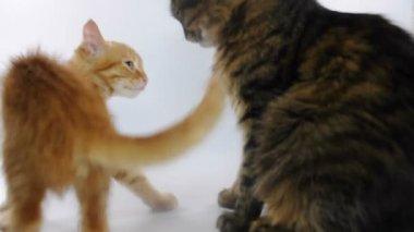 一緒に遊ぶ子猫 — ストックビデオ