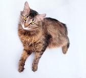 Bellissimo gatto grigio misto-allevano incinta — Foto Stock
