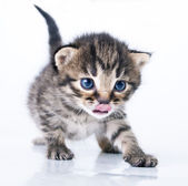 Little 2 weeks old kitten — Stock Photo