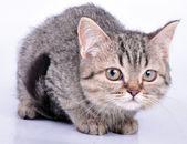 Niedlich kleines kätzchen, die durchführung einer wolle ball suchen — Stockfoto