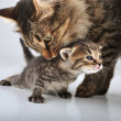 Small 20 days old  kitten with mother cat — Стоковая фотография