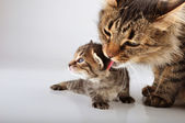 Mother cat cares of her 20 days old kitten — Stock Photo