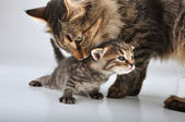Small 20 days old kitten with mother cat — Stock Photo