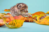 Small 20 days old kitten in autumn leaves — Foto Stock