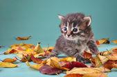 Malé 20 dní staré kotě v podzimní listí — Stock fotografie