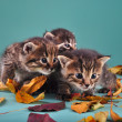 Stock Photo: Group of small kittens in autumn leaves