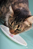 Cat eating sour milk — Stockfoto