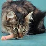 Adult cat eats a franfurter sausage — Stock Photo