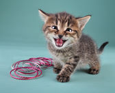 Studio portrait of little kitten with Indian bracelets — Stock Photo
