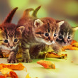Group of small kittens in autumn leaves — Stock Photo #35608685