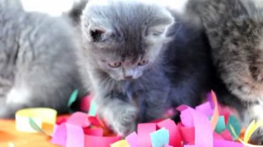 Group of small kittens cats  playing together — Video Stock