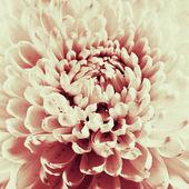 Foto de preto e branco digitalizadas closeup de flor dália. — Fotografia Stock