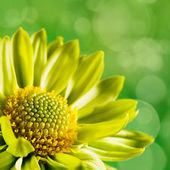 Chrysanthemum flower against unfocused green backgrounds — Stock Photo