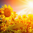 Happy Meadow. Sunflowers field under golden summer sun — Stock Photo #28645689