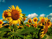 Sunflowers field under golden summer sun — Stock Photo