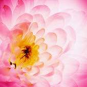 Lotus flower petals as abstract natural backgrounds — Stock Photo