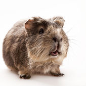 Strong man. Funny guinea pig over white backgrounds — Stock Photo