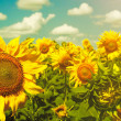 Sunflowers under the blue sky. beautiful rural scene — Stock Photo #29700649