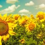 Sunflowers under the blue sky. beautiful rural scene — Stock Photo