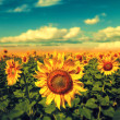 Sunflowers under the blue sky. beautiful rural scene — Stock Photo #29700663
