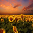 Bloody skies, Dramatic landscape with sunflowers field — Stock Photo
