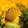 Sunflower, abstract macro backgrounds for your design — Stock Photo