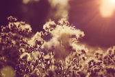 Willow-herb under the evening sun, natural backgrounds — Stock Photo