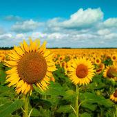 Golden flowers, optimistic summer landscape for your design — Stock Photo