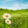 Beauty daisy flowers on the meadow, environmental backgrounds — Stock Photo