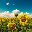 Beauty Sunflowers on the field, natural landscape — Stock Photo