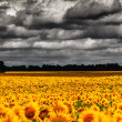Van Gogh Summer. Dramatic evening over sunflowers meadow — Stock Photo