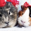Abstract xmas funny backgrounds with pair of guinea pigs — Stock Photo