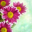 Chrysantemum flowers over green bright background — Stok fotoğraf