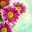 Chrysantemum flowers over green bright background — Stock Photo