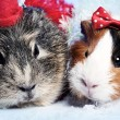 Abstract funny backgrounds with pair of guinea pigs — Stock Photo