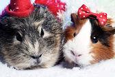 Fonds drôle Résumé de Noël avec la paire de cochons d'Inde — Photo