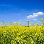 Oil seed rape field under the summer sky — Stock Photo #3344278