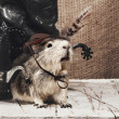Cool boy. Funny guinea pig over old wooden desk — Stock Photo #42906593