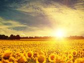 Sunflowers over sunset — Stock Photo