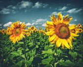Summer sunflowers — Stock Photo
